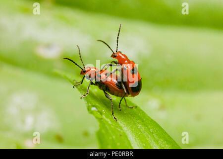 Six-spotted Neolema beetles mating (Neolema sexpunctata) - Virginia USA - Stock Photo