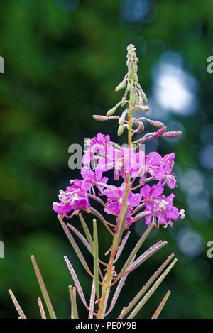Chamaenerion angustifolium, commonly known in North America as fireweed, in some parts of Canada as great willowherb,and in Britain as rosebay willowh - Stock Photo