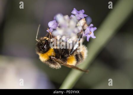 Bees Pollinating Lavender - Stock Photo