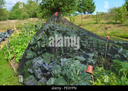 A net to deter birds and butterflies on kalettes and brassicas in summer in a garden Carmarthenshire Wales UK KATHY DEWITT - Stock Photo