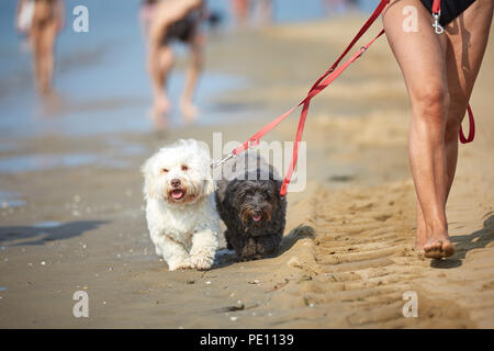 Black and white havanese dog walking on the beach at the sea in italy - Stock Photo