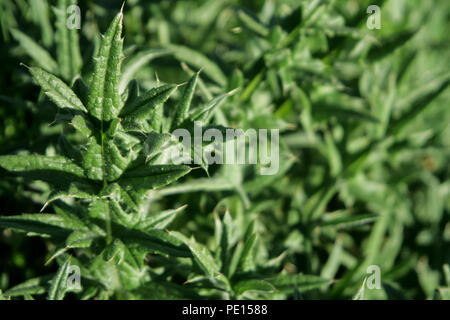 close up of thorny thistle leaves - Stock Photo