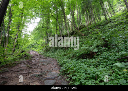 Hiking trail in lush green forest in summer time - Stock Photo