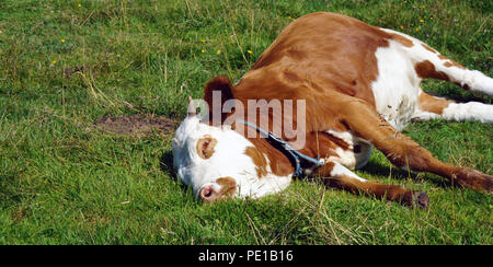 sleeping brown white cow at meadow - Stock Photo