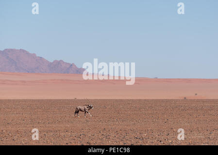 Running gemsbok antelope through open plains of african desert with red dunes in the background - Stock Photo