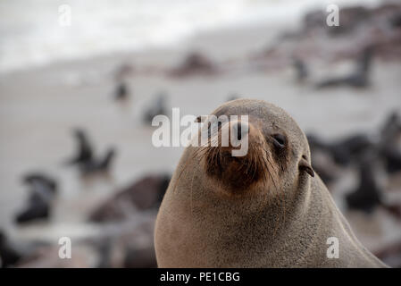 Portrait of a sleepy seal, eyes closed - Stock Photo