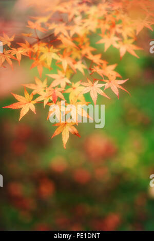 Artistic closeup of Japanese maple tree yellow leaves on green grass background, Acer palmatum, abstract fall nature scenery, Kyoto, Japan - Stock Photo