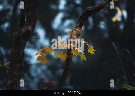 Beautiful tranquil fall nature scenery of maple tree leaves in a Japanese zen pond garden with abstract reflections on the water in the background. Te - Stock Photo