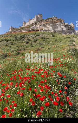 Peñafiel, Spain: Wildflower super bloom surrounds Peñafiel Castle. Fields of poppies sprouted in the region after a wet spring ended months of dry wea - Stock Photo