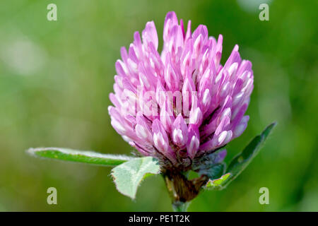 Red Clover (trifolium pratense), close up of a solitary flower head. - Stock Photo