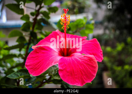 Red Hibiscus Flower Closeup - Stock Photo