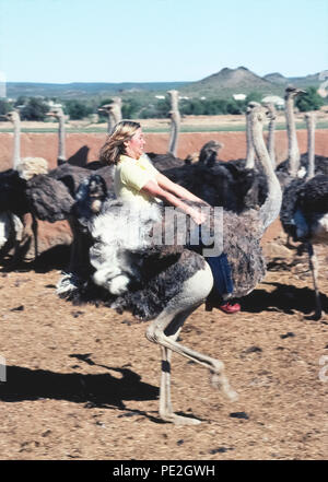 A female tourist holds tightly to the wings of an ostrich (Struthio camelus) as she rides it bareback past a flock of the world's biggest birds at an ostrich farm near Oudtshoorn, South Africa. Such farms flourished in the late 1800s and early 1900s when the fancy feathers of these flightless birds were in demand as high-fashion accessories for wealthy women. Nowadays the farms are sightseeing attractions offering visitors a chance to ride the fast-running animals and also dine on their huge eggs. - Stock Photo