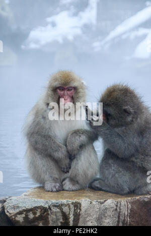 Two grooming snow monkeys sitting at the edge of an onsen (hotspring) in the Jigokudani Monkey Park in Nagano, Japan (December 2017). - Stock Photo