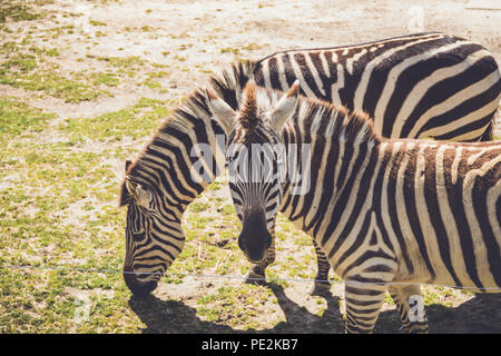 Zebra (Equus quagga) grazes on wild grass in sandy soil in a vintage garden setting - Stock Photo