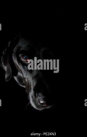 Black Labrador retriever portrait against black background - Stock Photo