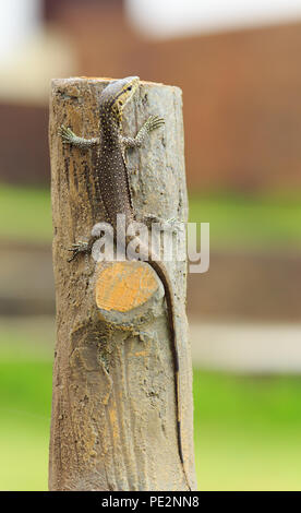 Portrait of a baby varan - Stock Photo