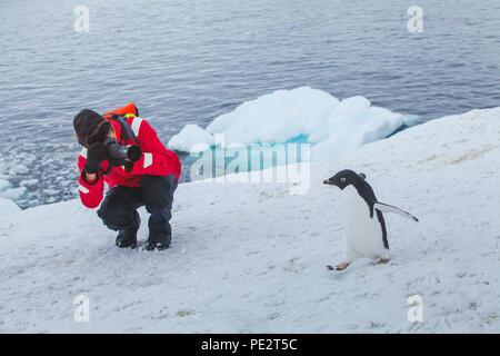 tourist wildlife photographer taking photo of bird adelie penguin in Antarctica - Stock Photo