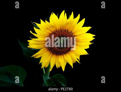 sunflower in the dark II - Stock Photo