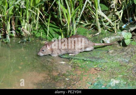 Brown Rat, (Rattus norvegicus), Brent River, near Brent Reservoir, also known as Welsh Harp Reservoir, Brent, London, United Kingdom - Stock Photo