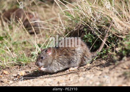 Brown Rat, (Rattus norvegicus), feeding on waste food, Brent Reservoir, also known as Welsh Harp Reservoir, Brent, London, United Kingdom - Stock Photo