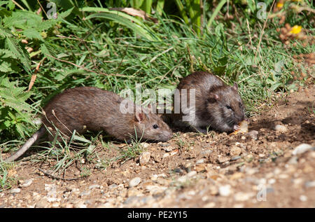 two Brown Rats, (Rattus norvegicus), Brent Reservoir, also known as Welsh Harp Reservoir, Brent, London, United Kingdom - Stock Photo