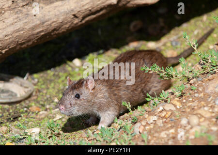 Brown Rat, (Rattus norvegicus), Brent Reservoir, also known as Welsh Harp Reservoir, Brent, London, United Kingdom - Stock Photo