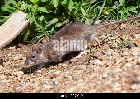 Brown Rat, (Rattus norvegicus), running on banks of Brent Reservoir, also known as Welsh Harp Reservoir, Brent, London, United Kingdom - Stock Photo