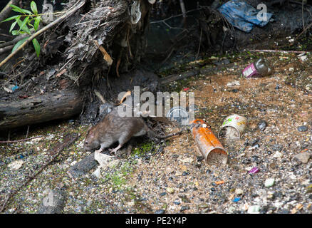 Brown Rat, (Rattus norvegicus), scavenging food amongst rubbish, River Brent , near Welsh Harp Reservoir, Brent, London, United Kingdom - Stock Photo