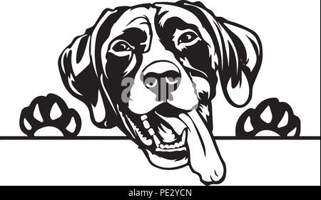 German Pointer Breed Pet Puppy Isolated Head Face - Stock Photo