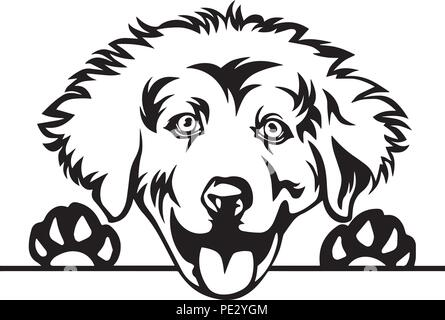 Great Pyrenees Breed Pet Puppy Isolated Head Face - Stock Photo