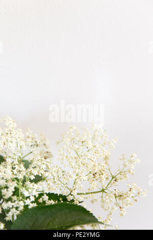 Elderflowers on a white background - Stock Photo