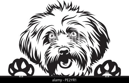 Lhasa Apso Dog Breed Pet Puppy Isolated Head Face - Stock Photo