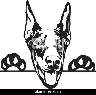 Doberman Dobe Dog Breed Pet Puppy Isolated Head Face - Stock Photo