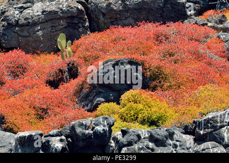 Galapagos carpet weed, Galapagos Shoreline Purslane or Sea Purslane (Sesuvium portulacastrum or microphyllum), - Stock Photo