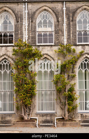 UK, Wales, Anglesey, Plas Newydd House, wisteria growing beside gothic revival arched windows - Stock Photo