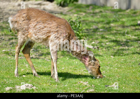 Female Vietnamese sika deer (Cervus nippon pseudaxis) grazing with the neck injury - Stock Photo