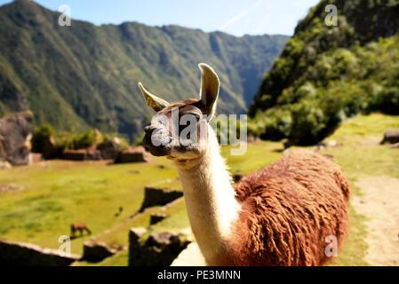Llama looking sideways at Machu Picchu. Llamas can be used as guard animals for livestock like alpacas and sheep. Cuzco region, Peru. Jul 2018 - Stock Photo