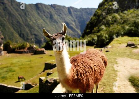 Curious llama looking straight to the camera at Machu Picchu. Cuzco region, Peru. Jul 2018 - Stock Photo