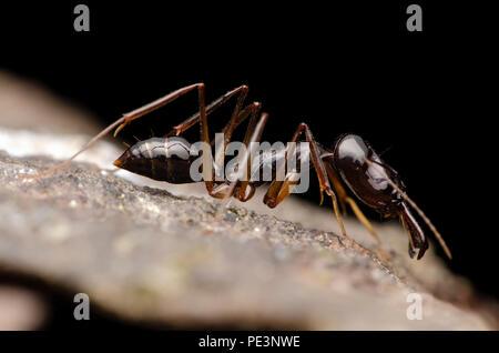 trap jaw ant. Odontomachus.sp - Stock Photo