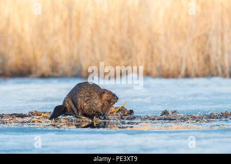 North American Beaver (Castor canadensis) eating cattail tubers or roots, North America, by Dominique Braud/Dembinsky Photo Assoc - Stock Photo