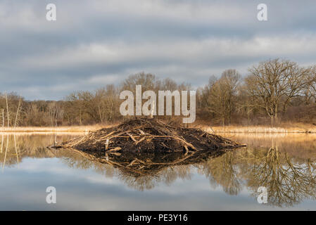 Beaver lodge (Castor canadensis) at sunrise, MN, USA, by Dominique Braud/Dembinsky Photo Assoc - Stock Photo
