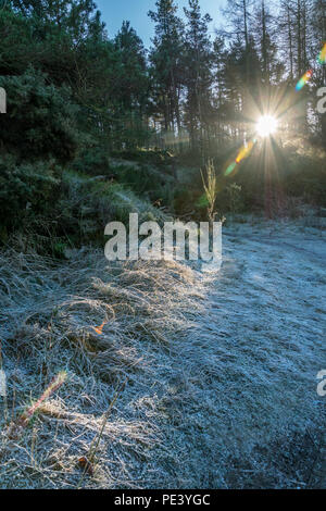 Sun shines through trees at Blacktop Wood, Aberdeenshire. - Stock Photo