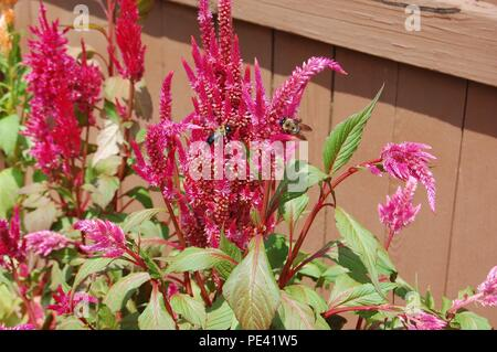 Bees on flowers collecting pollen in a garden - Stock Photo