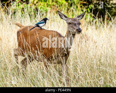 Red deer hind with a magpie on her back looking for insects disturbed by the deer's passing - Ashton Court Bristol UK - Stock Photo