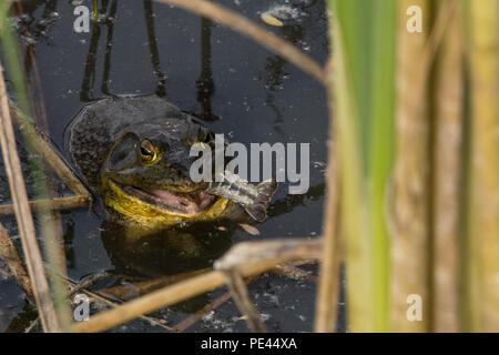 American Bullfrog (Lithobates catesbeianus) from Socorro County, New Mexico, USA.
