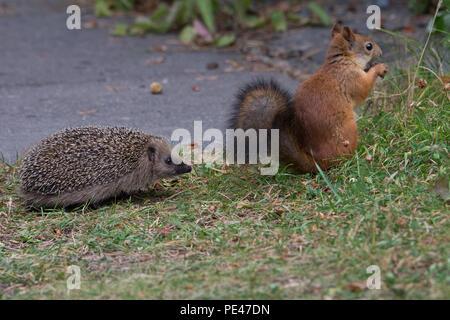 Juvenile Hedgehog encounters Red Squirrel. Hyvinkää, Finland - Stock Photo