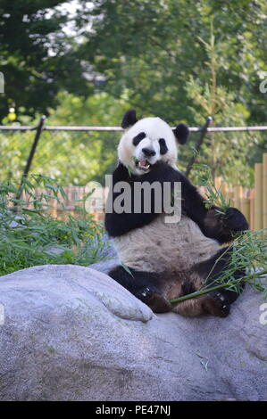 Panda at Toronto Zoo in Toronto, Ontario Canada - Stock Photo