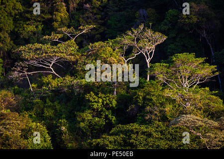 Early morning light on the cloudforest canopy in Altos de Campana national park, Republic of Panama. - Stock Photo