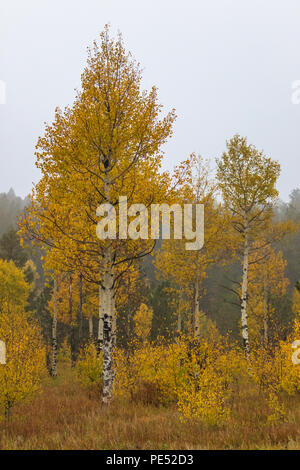 Brilliant yellow aspen trees changing color on a cold, misty Rocky Mountain morning - Stock Photo