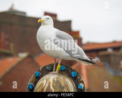 A herring gull Larus argentatus with BTO yellow leg rings Y:H08 in Whitby North Yorkshire England UK - Stock Photo